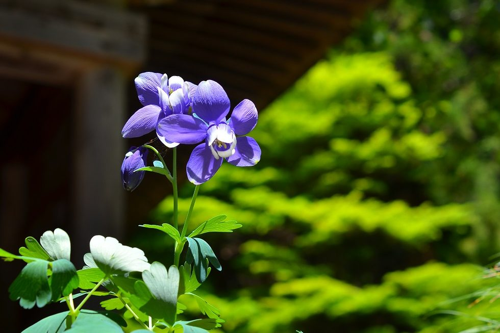 本堂前の菫の花